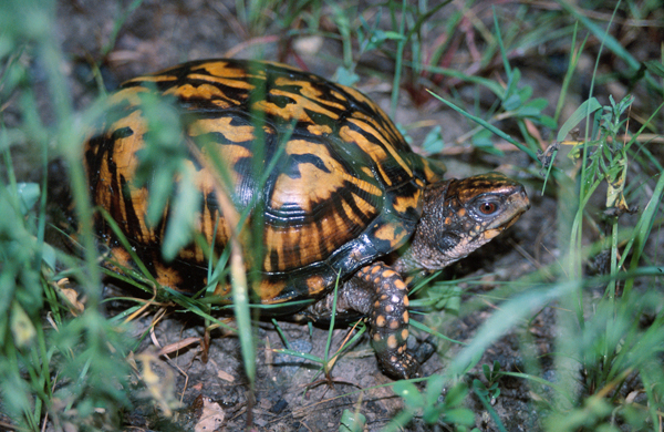 A common turtle moving slowly across dry land bridge at Wakodahatchee Preserve